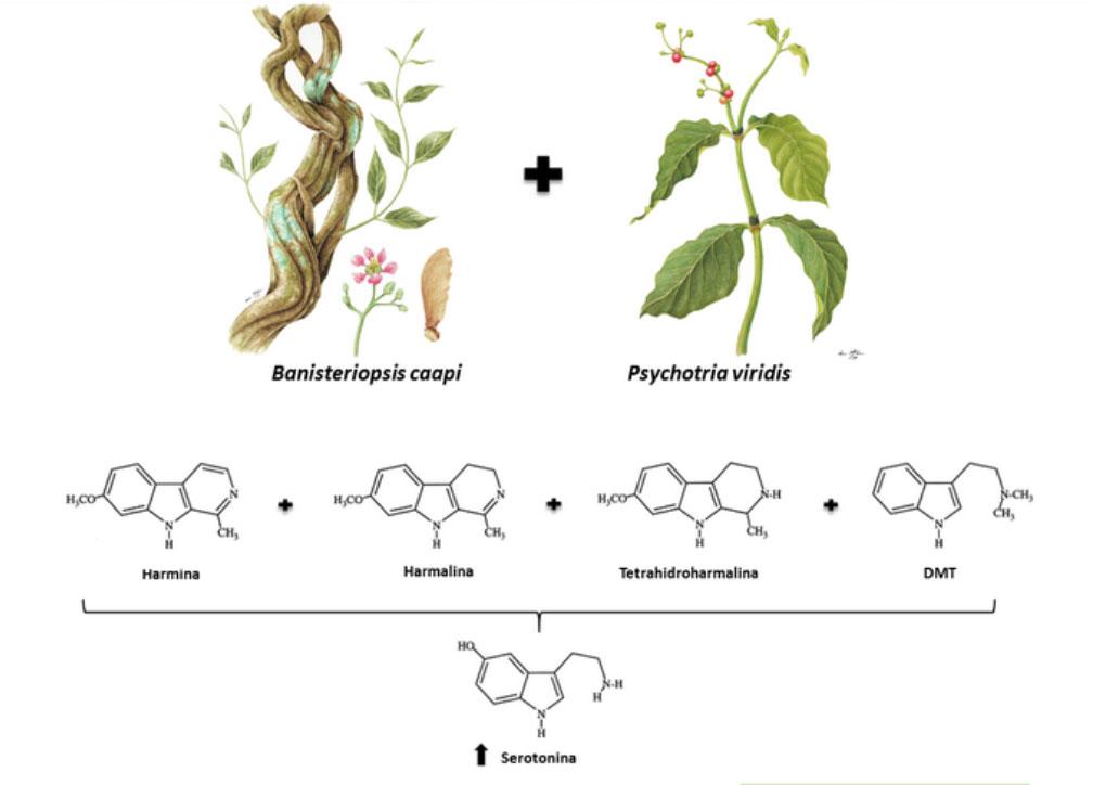 struttura chimica dell'ayahuasca - armina, armalina, tetra-idro-armina